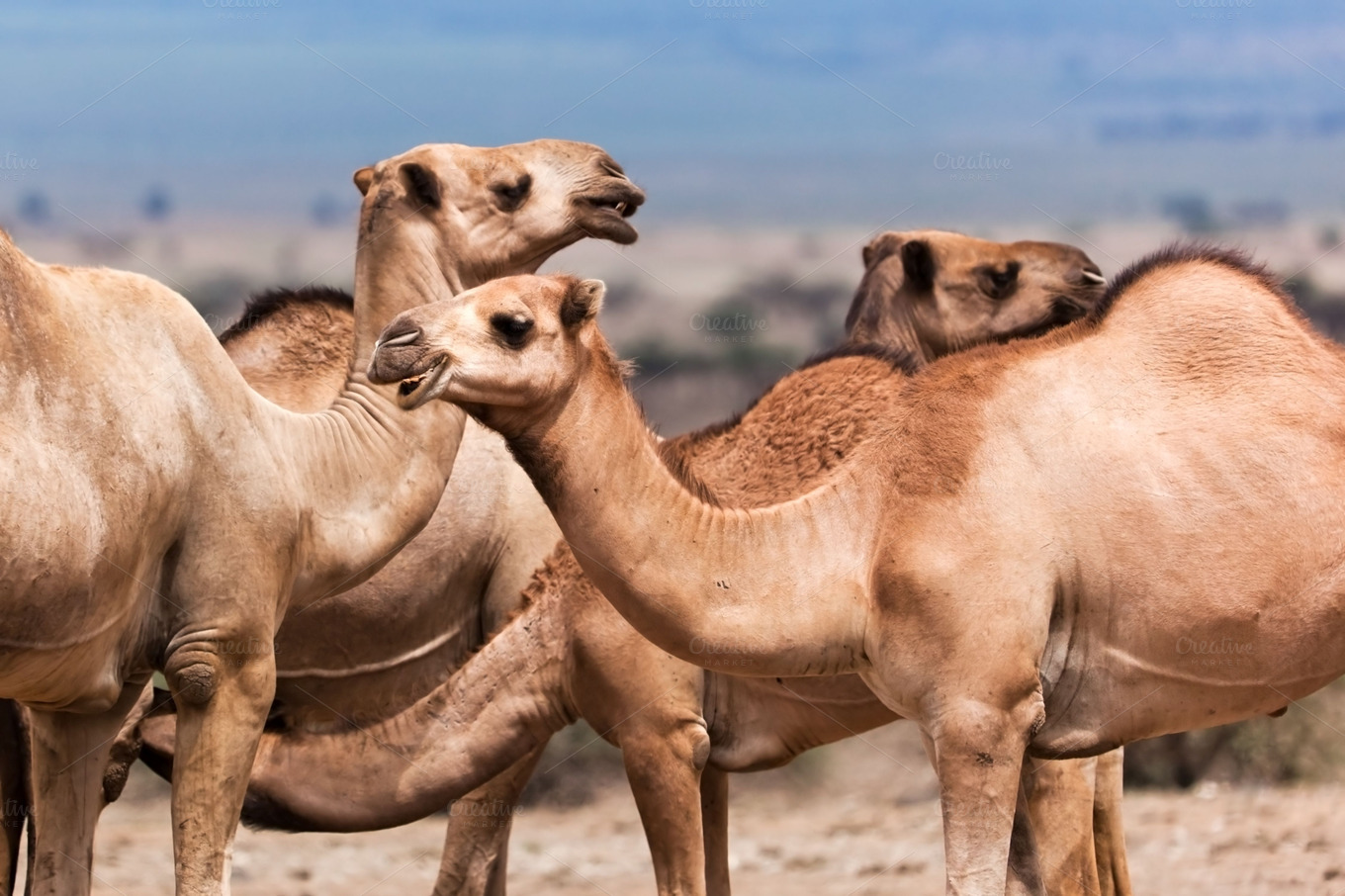 Group Of Camels 58