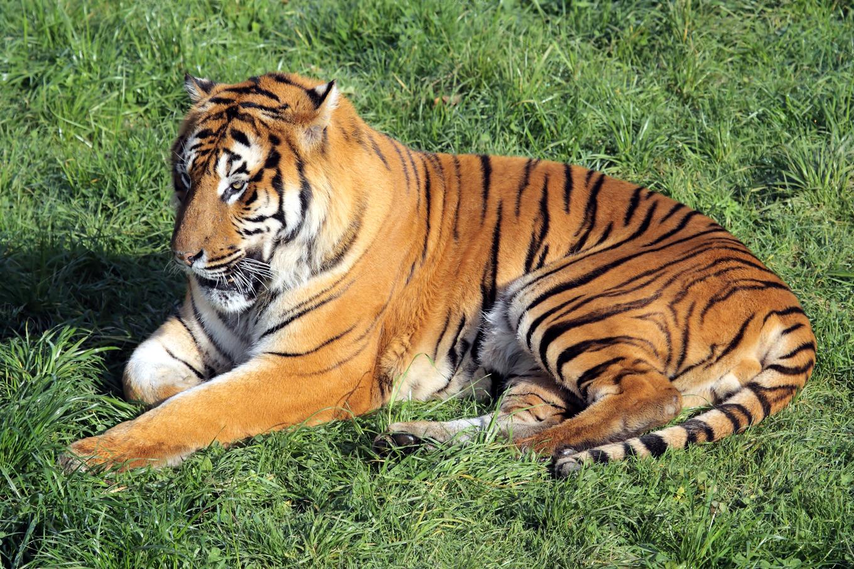 tiger animal photos on creative market