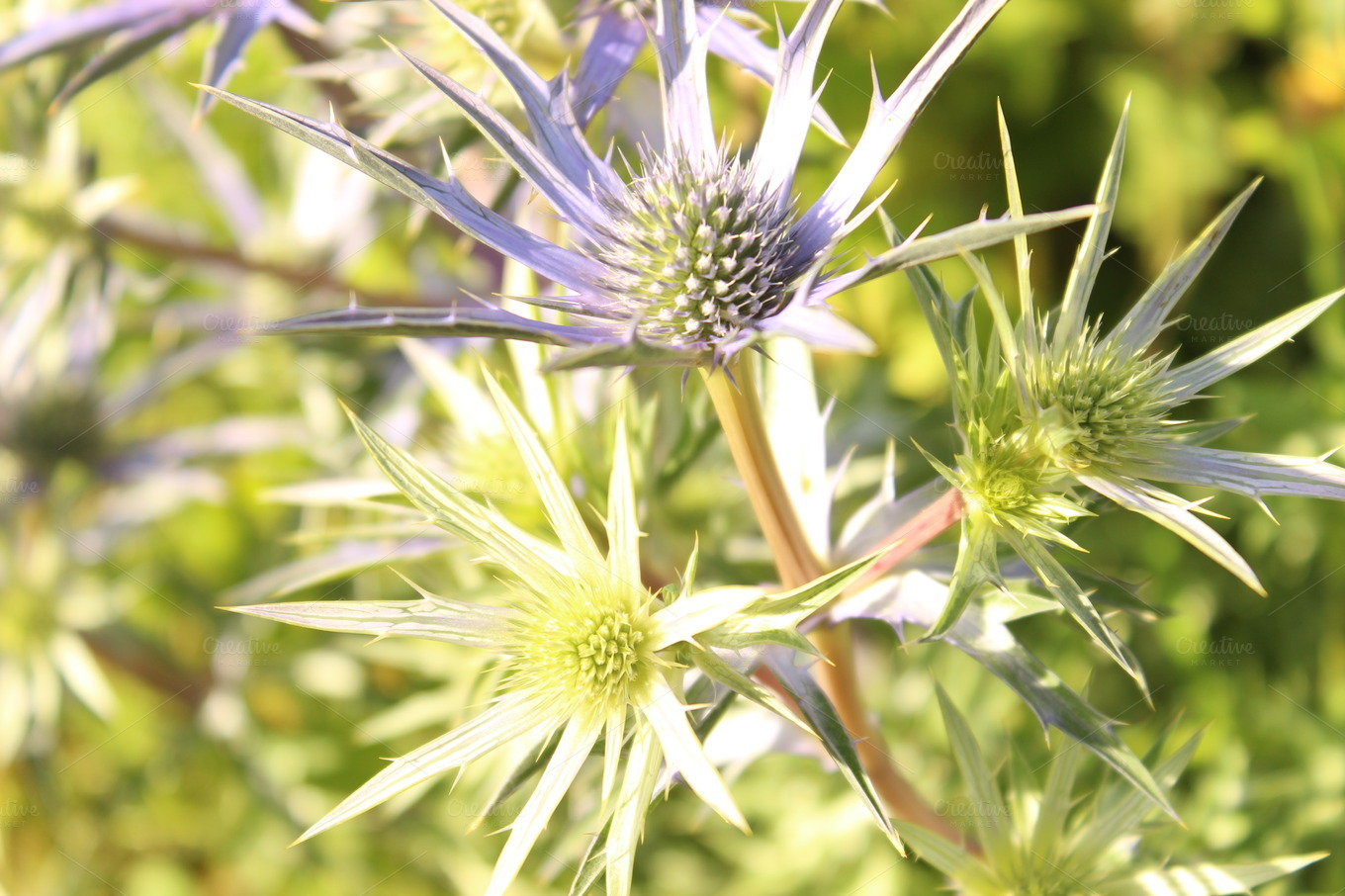 Sea Holly Flower Background Nature s on Creative Market