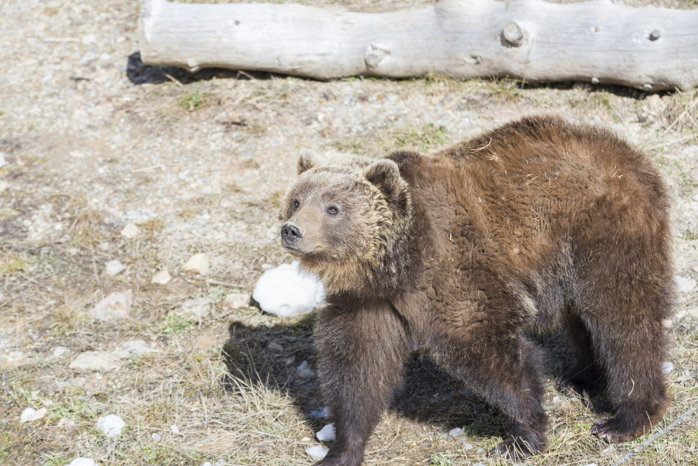 Grizzly in the Water with a Watermelon : hardcoreaww  |Brown Bear Food