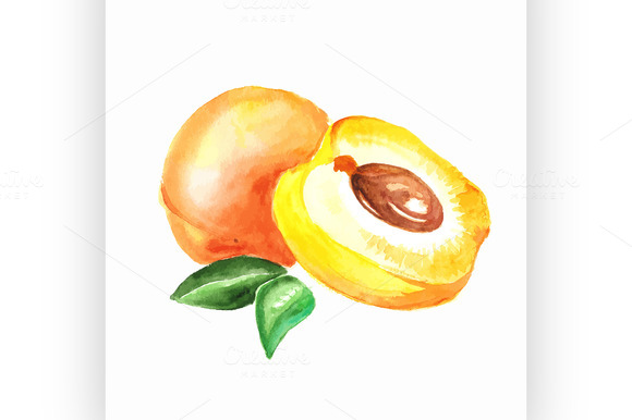apricot. Vector watercolor painting - Illustrations