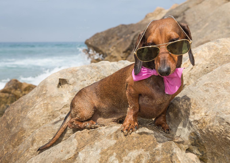 dachshund dog on the beach ~ Animal Photos on Creative Market