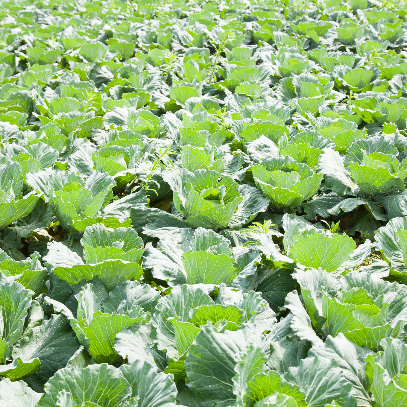 agri sba cabbage production Cabbage farming guide: cabbage farming introduction of cabbage farming:- cabbage is one of the most popular vegetables in the world because of its adaptability to a wide range of climatic conditions and soil types, ease of production and storage, and its food valuecabbage is believed to have evolved from a wild form native to europe, growing along the coast of the north sea, the english.