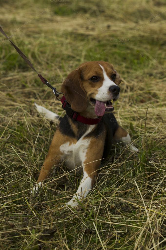 Beagle dog sitting on a leash animal photos on creative for Dog day sitting
