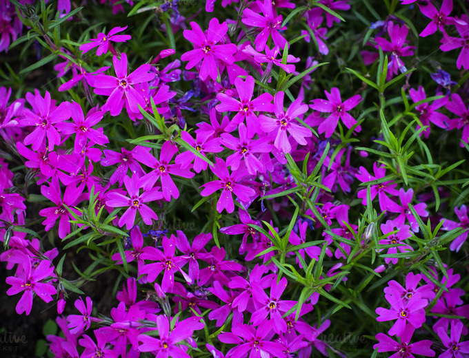 Pretty Pink Purple Flowers Blooming In A Garden Nature