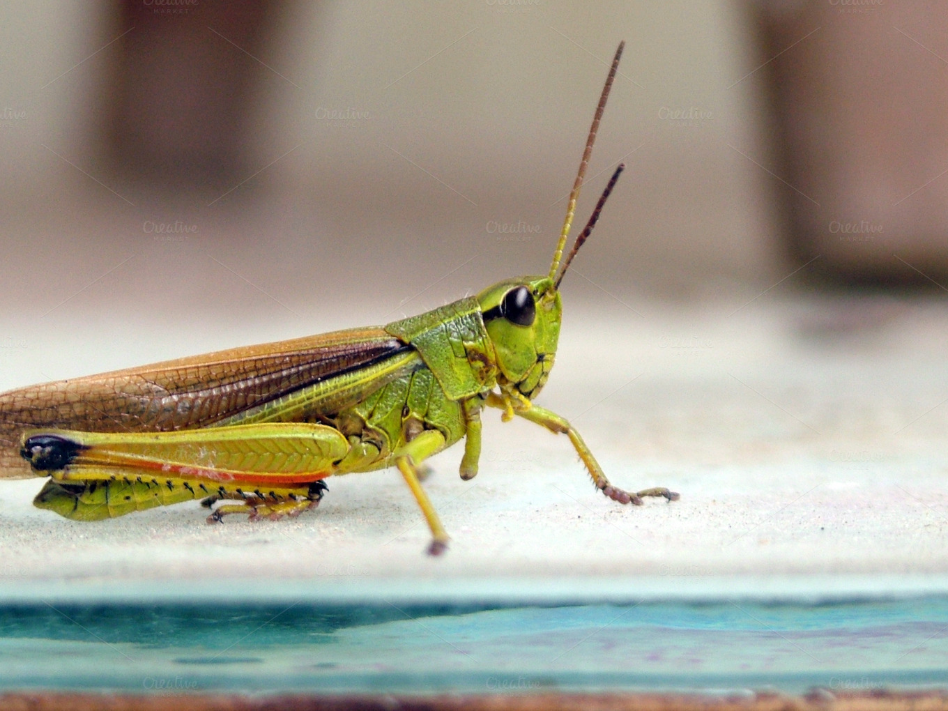 Cricket Close Up ~ Animal Photos on Creative Market