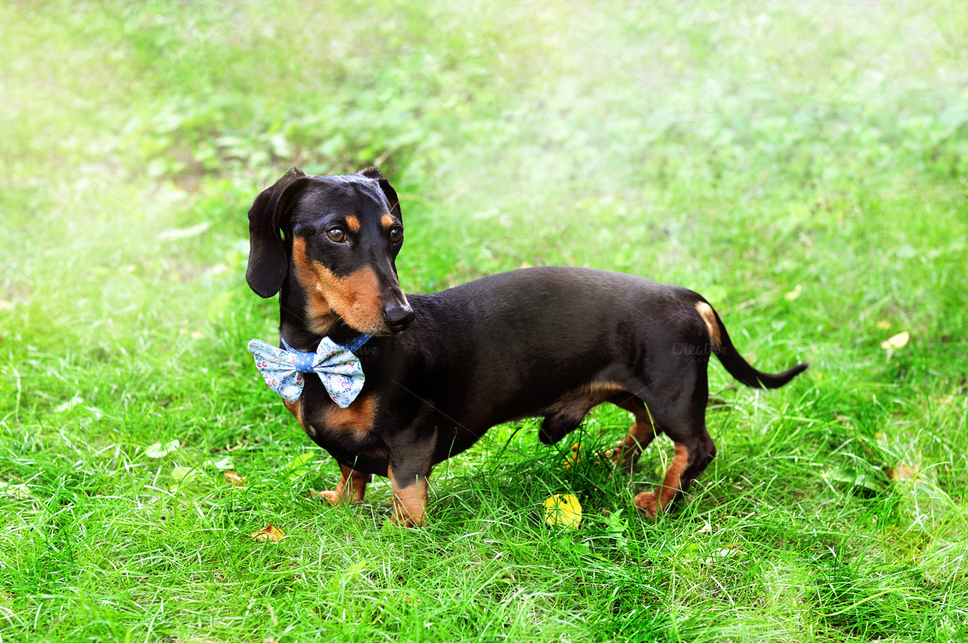 Miniature Dachshund wearing bow tie ~ Animal Photos on
