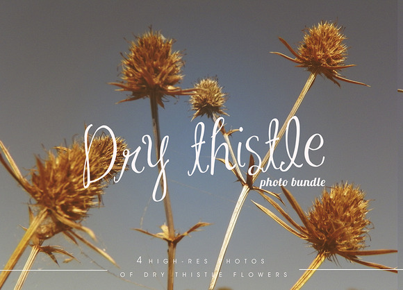 Dry Thistle Photo Set