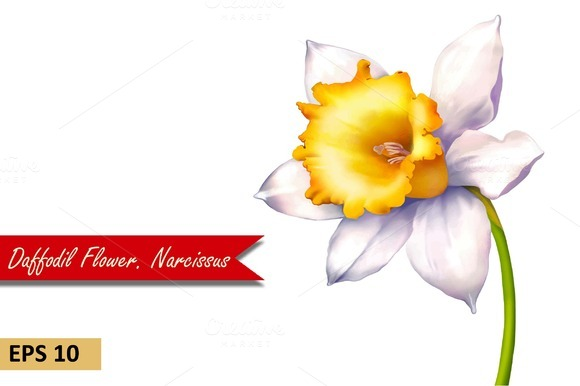 Daffodil flower or Narcissus. Vector - Objects