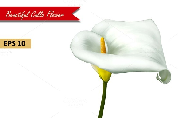 White Calla Lily Flower. Vector - Objects