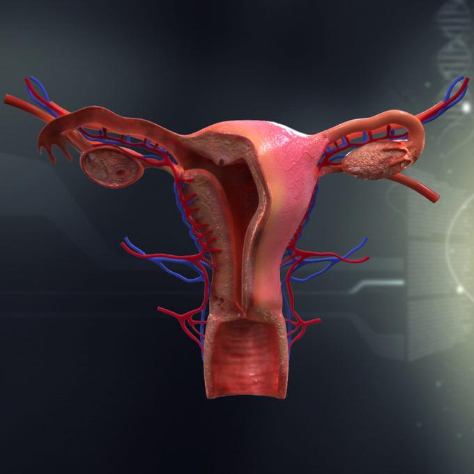Human Female Organ Anatomy