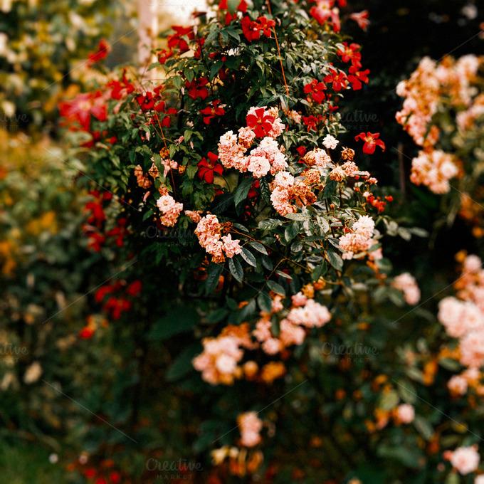 Roses In Garden: Old Heirloom Roses In A Garden