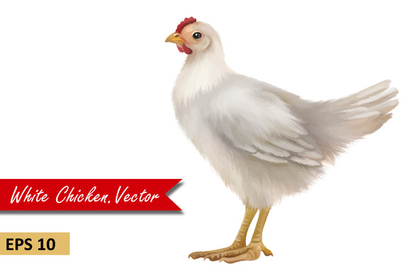 Young White Chicken Vector