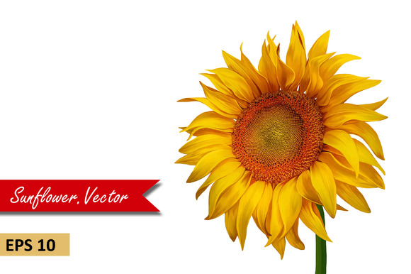 Beautiful Sunflower. Vector - Objects