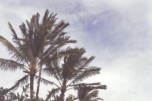 Kauai Palm Trees II