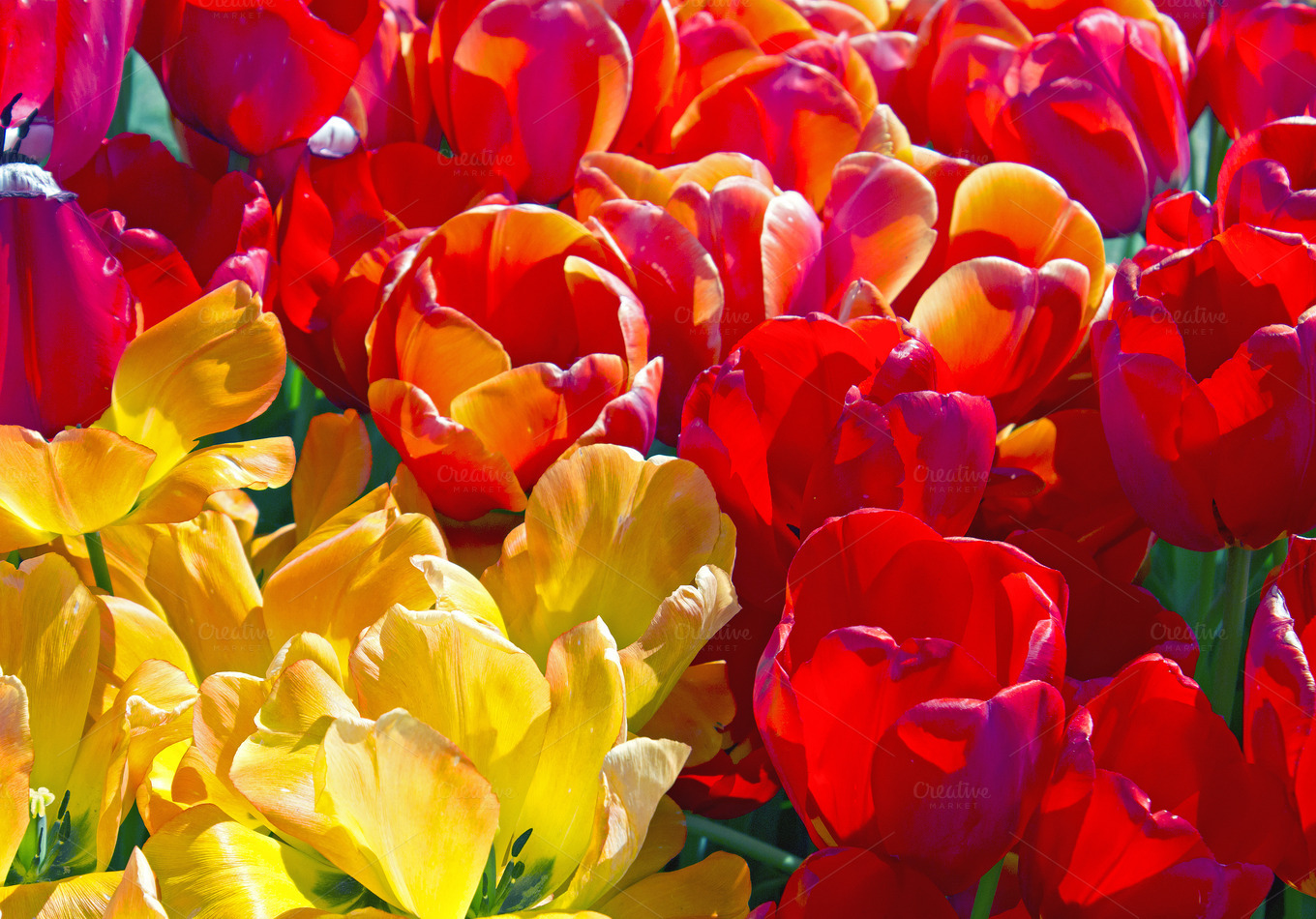 colorful tulip flowers - photo #13