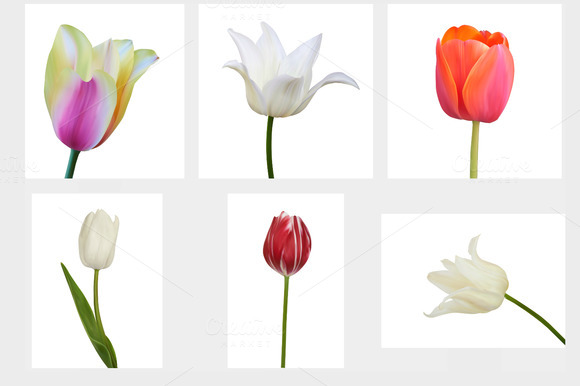 Set of Tulip. Vector illustration - Objects