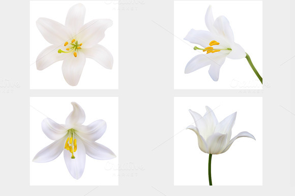 Vector - White lily. Photo-realistic - Objects