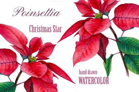 Watrcolor Poinsettia. Christmas star - Illustrations