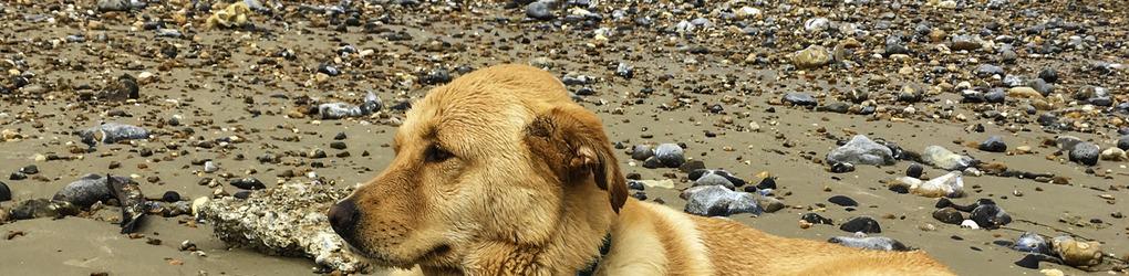 littlebulldog