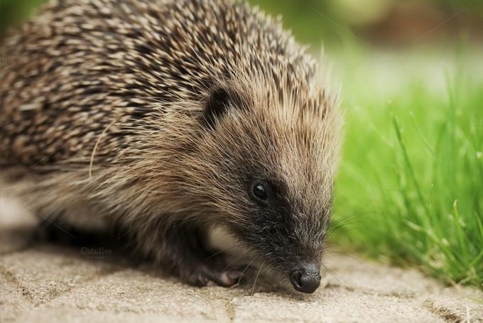 community-update-hedgehog
